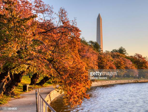 cheery trees in fall - washington dc stock pictures, royalty-free photos & images