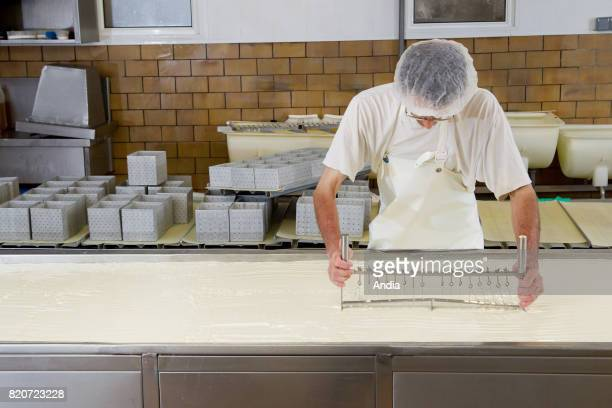 production of Maroilles cheese unpasteurized farm cheese Curdling in a factory man wearing an hygiene cap and an apron