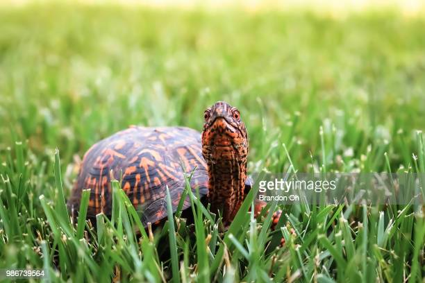 cheese!! - box turtle stock pictures, royalty-free photos & images