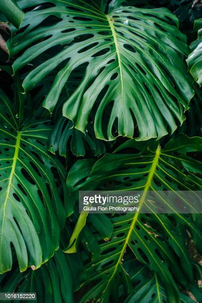 cheese plant in a botanical garden - tropical bush stock pictures, royalty-free photos & images