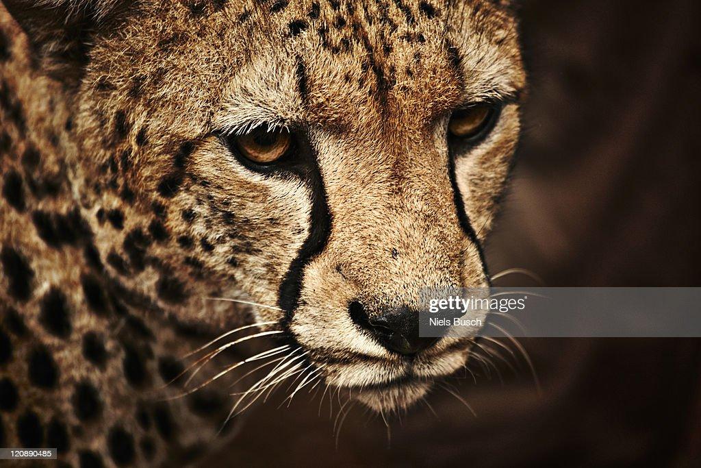 Cheeta close-up : Bildbanksbilder