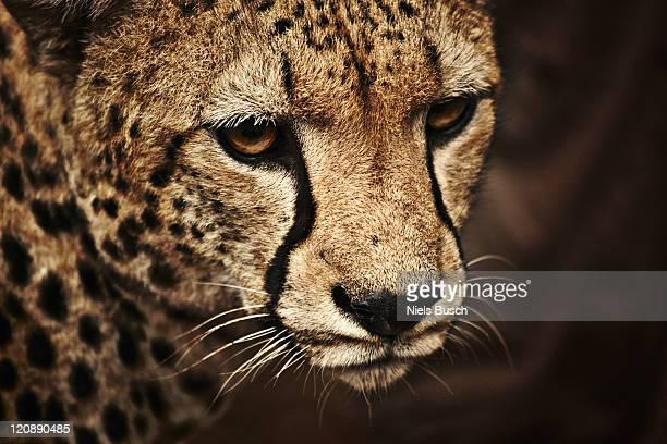 Cheeta close-up