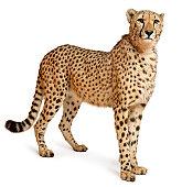 Cheetah, Acinonyx jubatus, eighteen months old, standing, white background.
