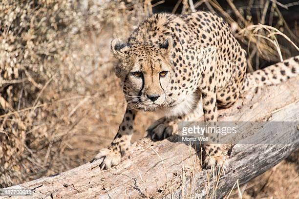 Cheetah -Acinonyx jubatus-, Khomas, Namibia