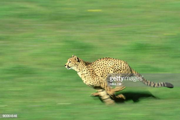 cheetah:  acinonyx jubatus  running - wildlife model  u.s.a.