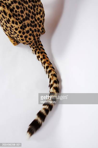Cheetah (Acinonyx jubatus) against white background, rear end