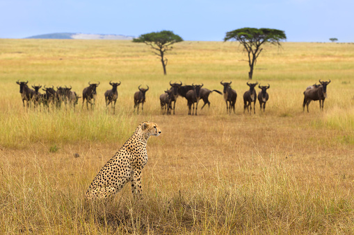A cheetah and a herd of gnus. - gettyimageskorea