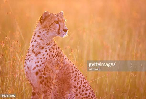 Cheetah and cub at dawn