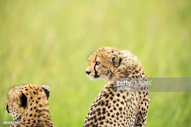 Guépard et de la cub-Être étendu