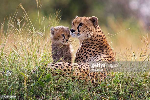 cheetah and cub - young animal stock pictures, royalty-free photos & images