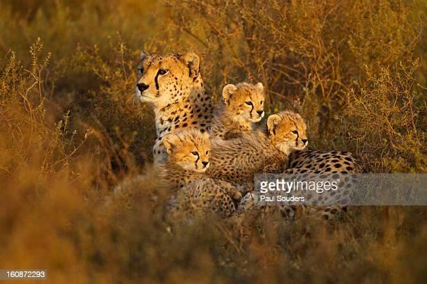 Cheetah and Cubs, Ngorongoro, Tanzania