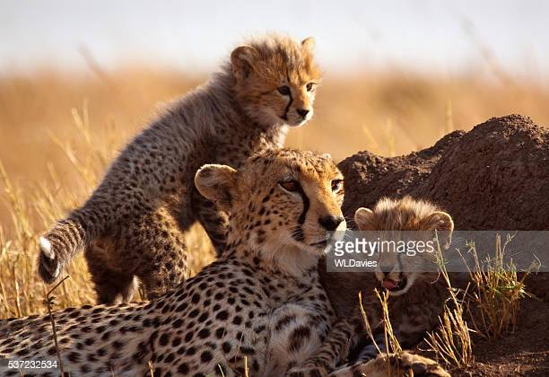 cheetah and cubs - animal family stock pictures, royalty-free photos & images