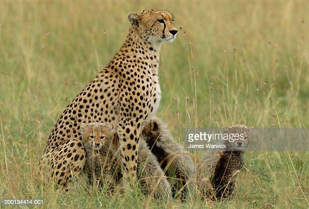 Cheetah (Acinonyx jubatus) and cubs sitting in grass