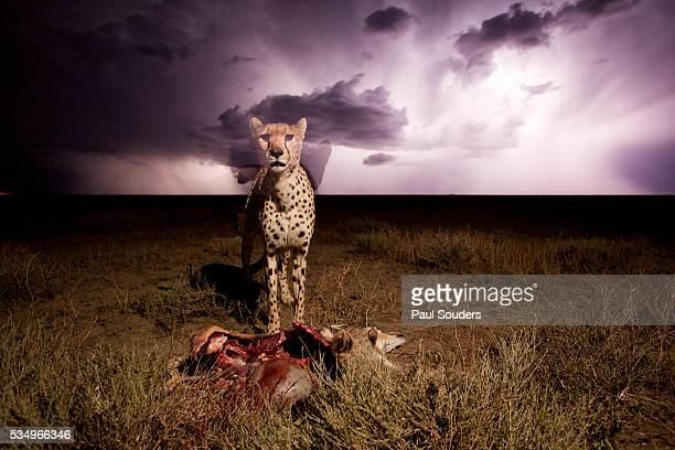 Cheetah and Lightning Storm, Ngorongoro Conservation Area, Tanzania