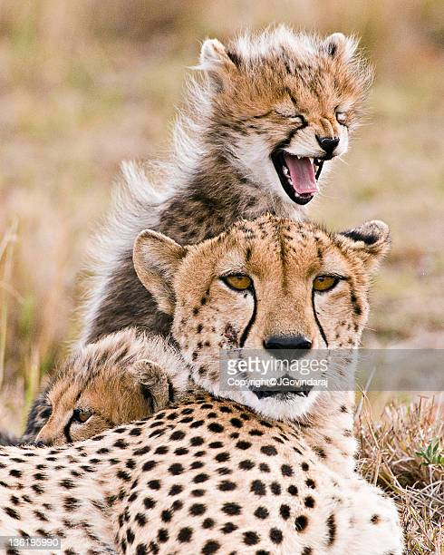 Cheetah and young cubs in forest