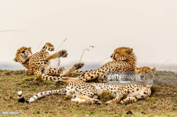 Cheetah Antics