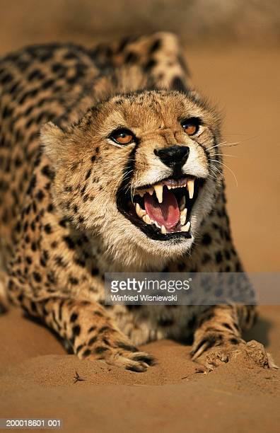 Cheetah (Acinonyx jubatus) arching back and baring teeth, close-up