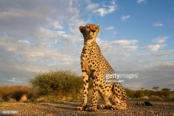 Cheetah at Sunset