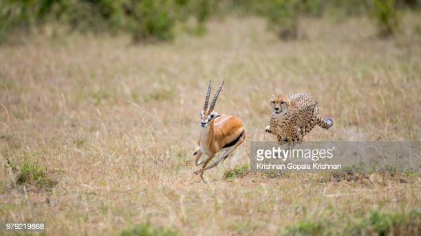cheetah chase - animals hunting stock pictures, royalty-free photos & images
