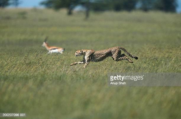 cheetah (acinonyx jubatus) chasing a gazelle, side view, masai mara, kenya - animals hunting stock pictures, royalty-free photos & images