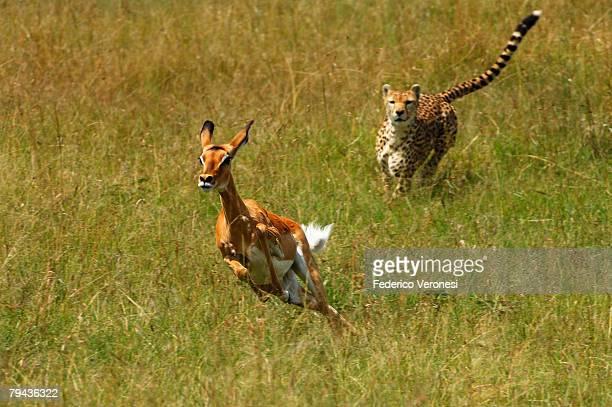 cheetah (acinonyx jubatus) chasing female impala (aepyceros melampus). olare orok conservancy, masai mara, narok district, kenya - animals hunting stock pictures, royalty-free photos & images