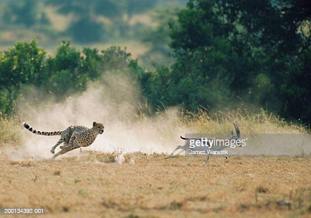 cheetah chasing thomson's gazelle (blurred motion) - cheetah stock pictures, royalty-free photos & images