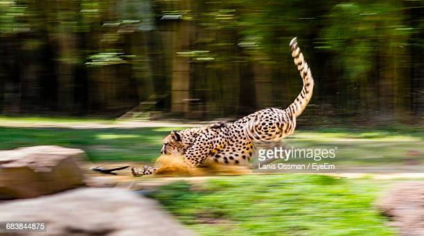 cheetah chasing toy at busch gardens - carnivora stock photos and pictures