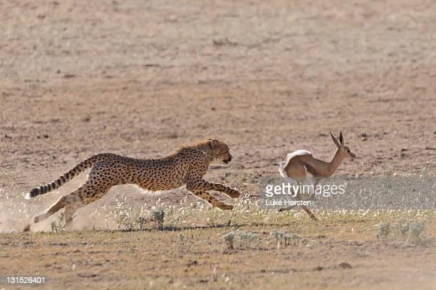 Cheetah chasing young springbok