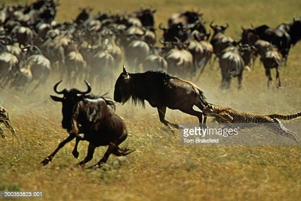 Cheetah (Acinonyx jubatus) chasing zebras and wildebeests
