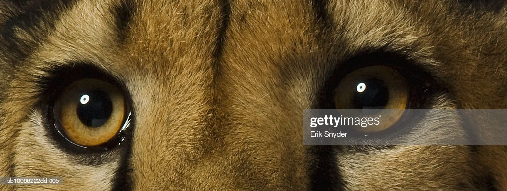 Cheetah, close-up of eyes