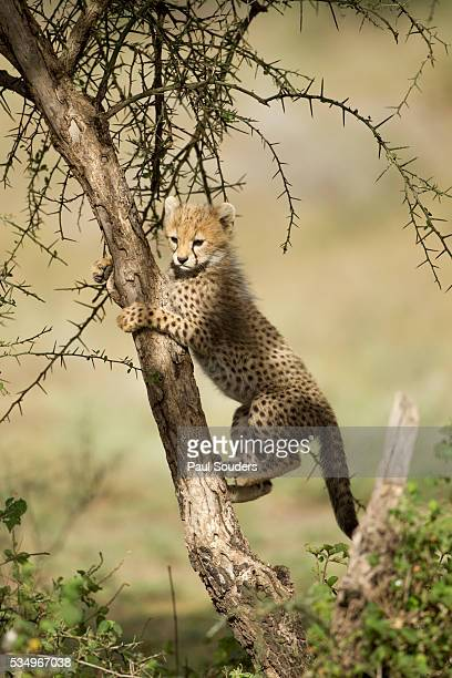 cheetah cub at ngorongoro conservation area, tanzania - tree with thorns on trunk stock photos and pictures