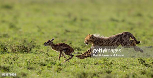 Cheetah cub chasing Thomson's Gazelle fawn