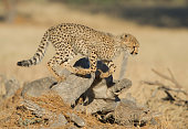 an energetic young cheetah leapfrogs over