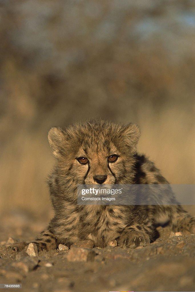 Cheetah cub , Namibia , Africa : Stockfoto
