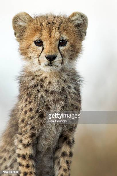 cheetah cub - named wilderness area stock pictures, royalty-free photos & images