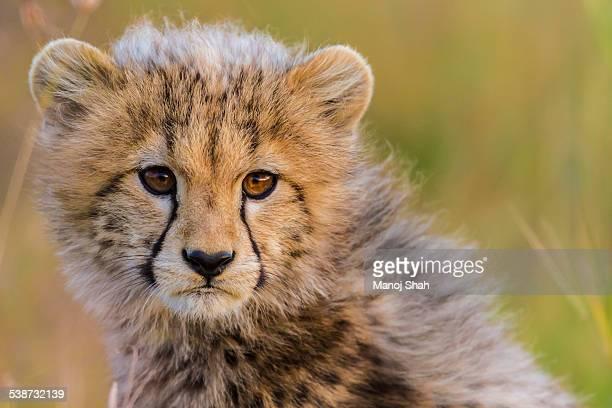 Cheetah cub scanning the savanna