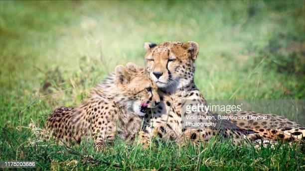 cheetah cub snuggling with mother close up at masai mara, kenya - animal behavior stock pictures, royalty-free photos & images