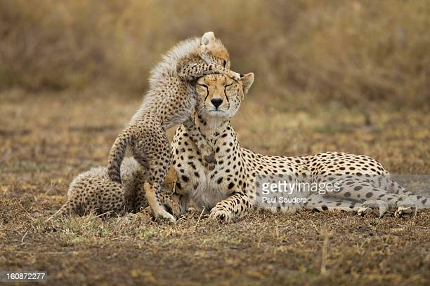 cheetah cub with mother, ngorongoro, tanzania - ngorongoro conservation area stock pictures, royalty-free photos & images