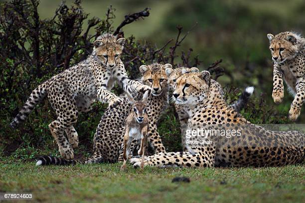 cheetah cubs hunting a thomson's gazelle fawn - felino selvatico foto e immagini stock