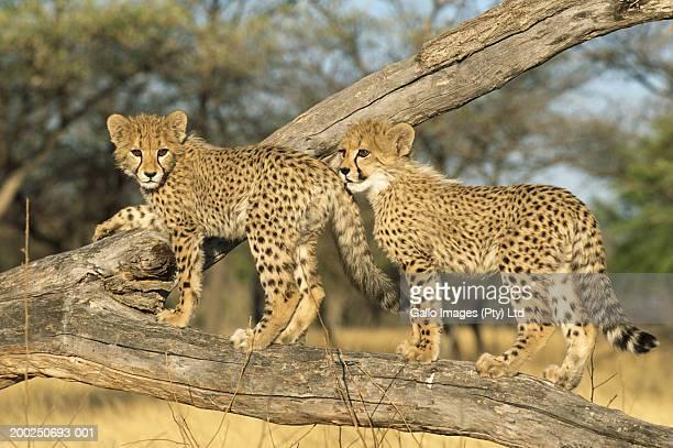 Cheetah cubs (Acinonyx jubatus) on fallen tree branch in field