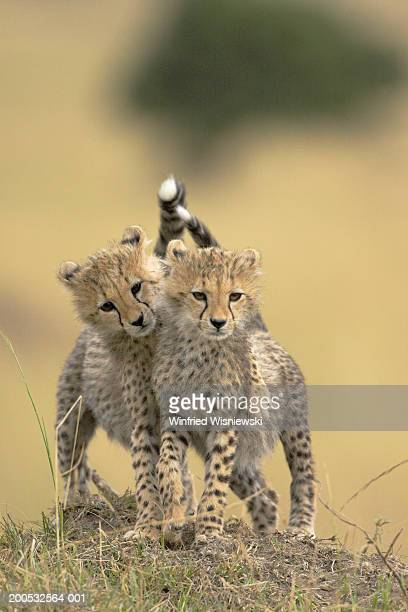 Cheetah cubs (Acynonix jubatus) playing