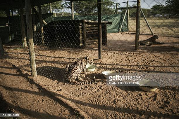 A cheetah drinks water at sunrise in an enclosure ahead of the daily mock run on February 19 2016 at the Cheetah Conservation Fund in Otjiwarongo...