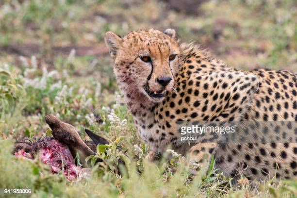 Cheetah eating a baby wildebeest in Africa