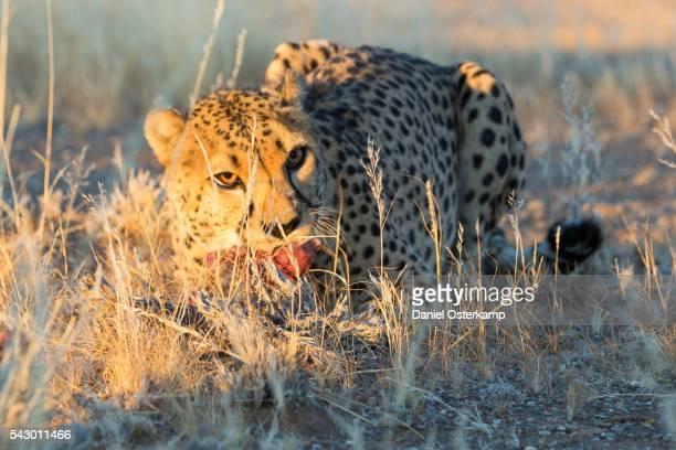 Cheetah (Acinonyx jubatus) eating piece of raw meat, Namibia, Africa