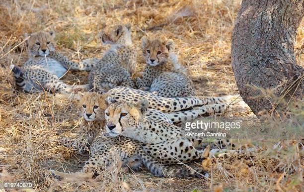 Cheetah Family in Serengeti National Park, Tanzania Africa