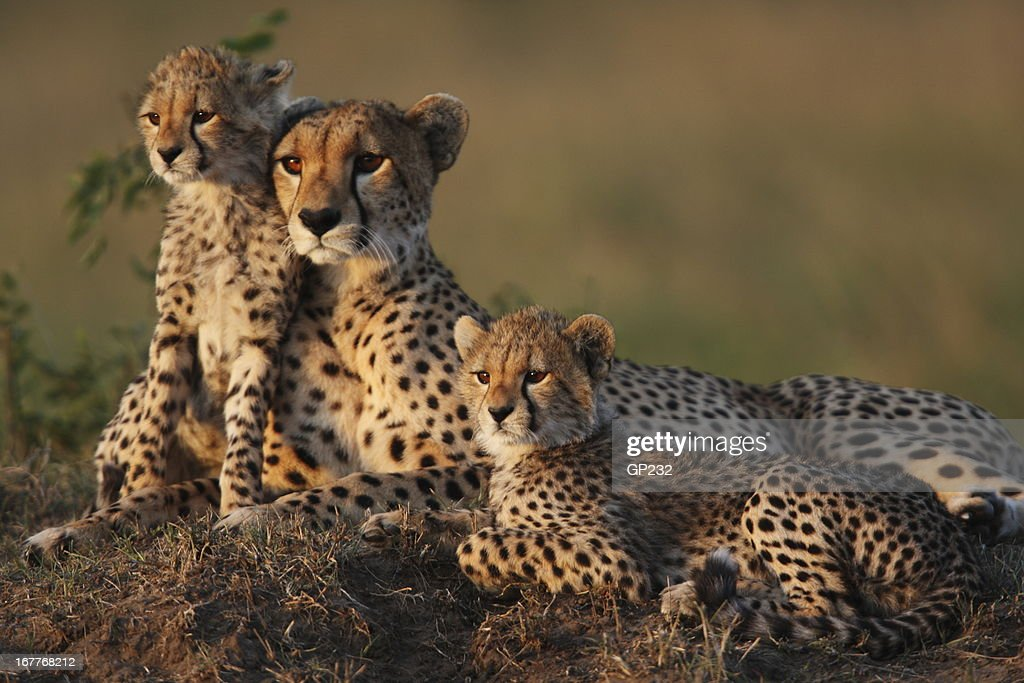 Cheetah Family : Stock Photo