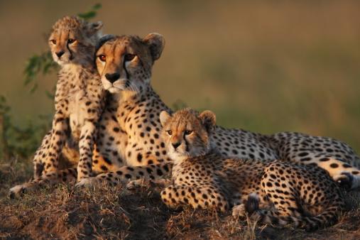 Cheetah Family 167768212