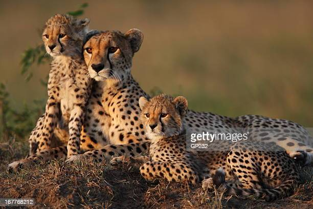 cheetah family - animal family stock pictures, royalty-free photos & images