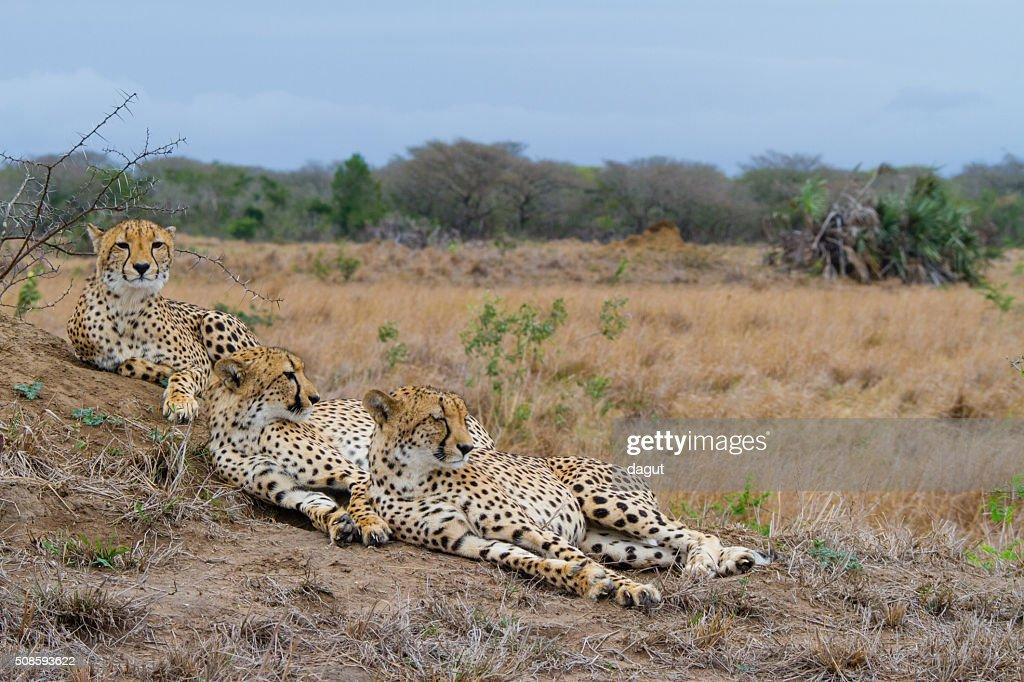 Cheetah family resting on a termite mound : Stock Photo