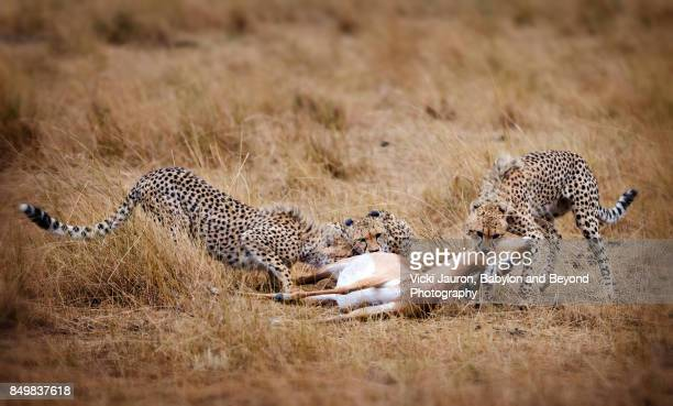 cheetah family with impala kill - big cat stock pictures, royalty-free photos & images